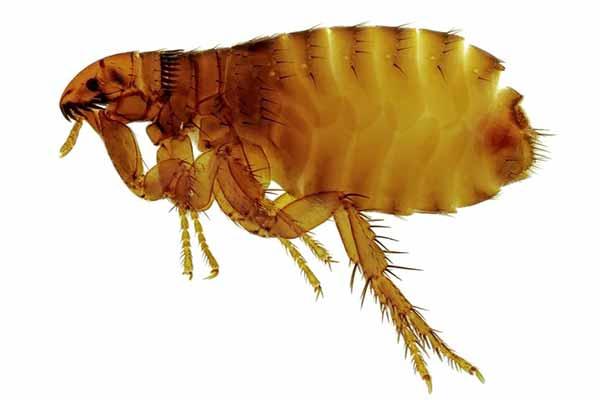 Get Rid Of Fleas