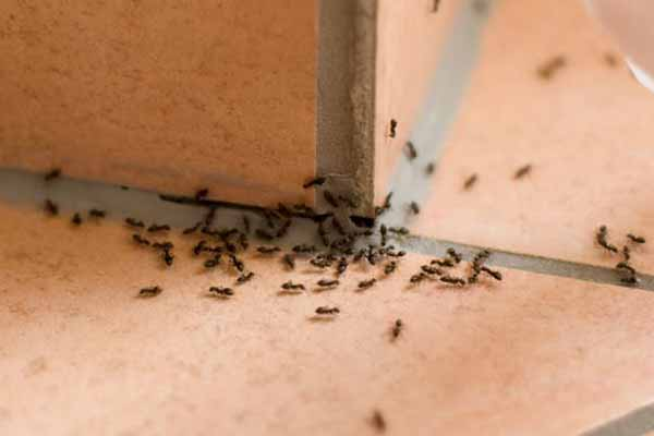 White Footed Ant Removal
